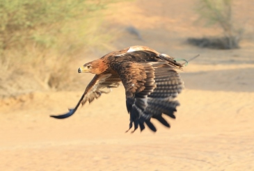 Our Bedu eagle flies in the desert