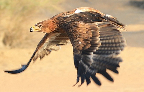 eagle-in-the-desert-11
