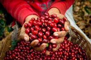 Coffee cherry. Photo: ©reframecoffee.com