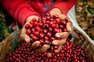 Coffee cherry. Photo: ©reframecoffee.com