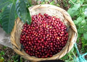 Coffee cherry. Photo:©Laya coffee
